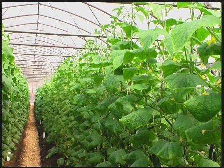 Огурцы в теплице выращивание видео