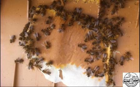 подкормка пчел молоком