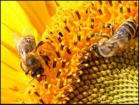 пчелы на цветах фото