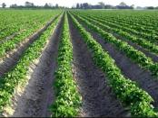 Подкормка огурцов. выращивание картофеля по голландской технологии.