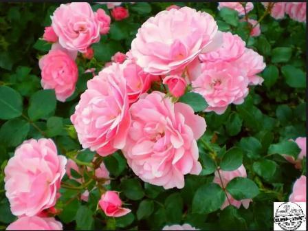 чайная роза уход в домашних условиях