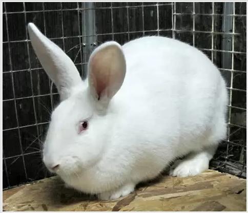 Белый великан порода кроликов