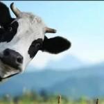 Чем кормить коров
