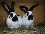Кролики немецкий пёстрый великан