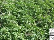 картофель болезни и лечение
