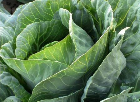 Как избавиться от вредителей капусты