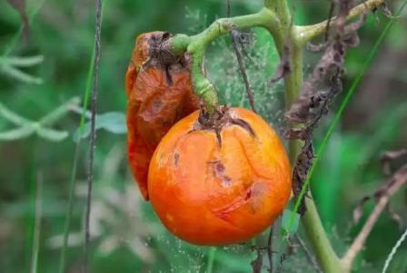 Борьба с фитофторой на томатах народными средствами
