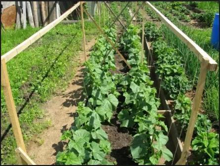 подкормка огурцов органическими улобрениями