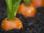 Как хранить морковь на зиму