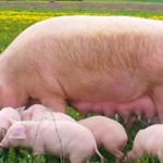 Уход за свиноматкой, основные моменты