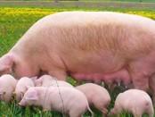 Уход за свиноматкой в домашних условиях