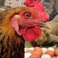 Почему куры расклевывают яйца