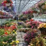 Бизнес на цветах, выращиваем в теплице сами
