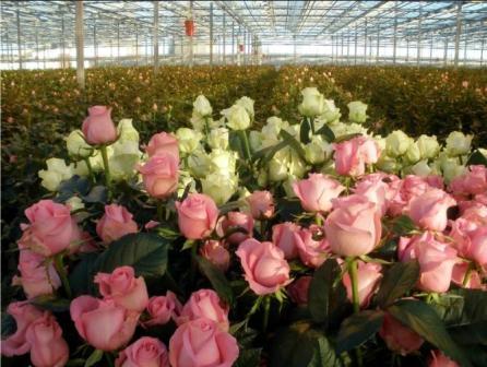 выращивание цветов в теплице_2