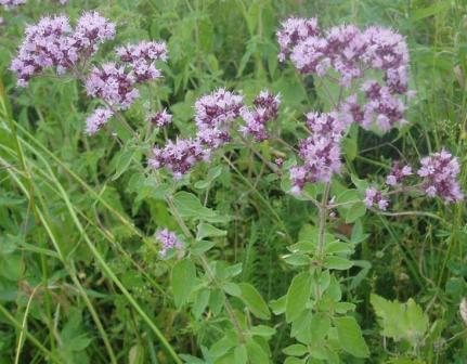 Трава душица: применение и полезные свойства