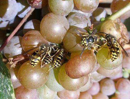 Как избавиться от ос на винограде
