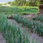 Как вырастить богатый урожай озимого чеснока