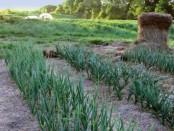 Озимый чеснок выращивание и уход