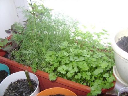 укроп на подоконнике как выращивать
