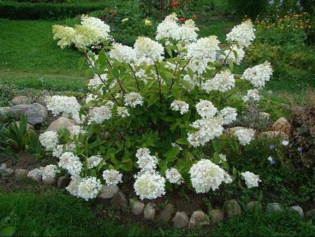Цветы гортензии посадка и уход 11