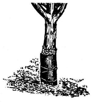 защита деревьев от грызунов и зайцев