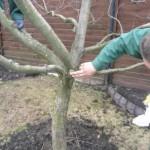 Как правильно обрезать деревья зимой