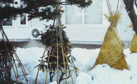 укрытия яблони на зиму