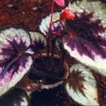 Бегония королевская уход в домашних условиях, фото цветка