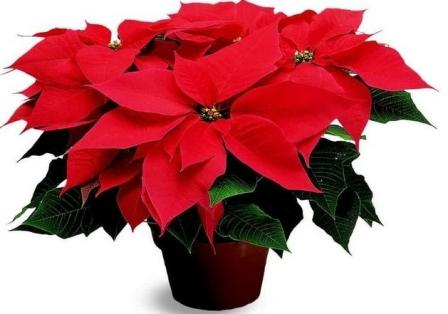 Пуансетия рождественский цветок