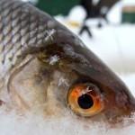 Как поймать плотву зимой