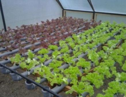 листя салата в теплице