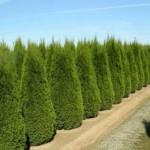 Как высаживать тую и осуществлять уход за растением?