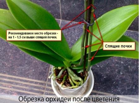 обрезка орхидеи после цветения фото