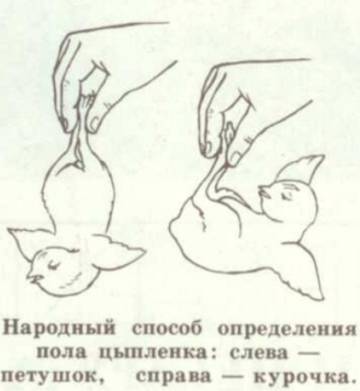 народный метод определения петушка или курочки