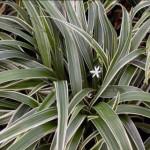Хлорофитум уход, пересадка, фото растения