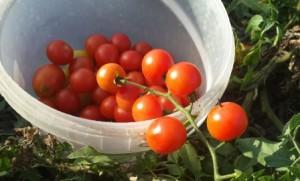 лучшие сорта помидор на 2016 отзывы