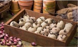 проращивание картофеля в ящиках