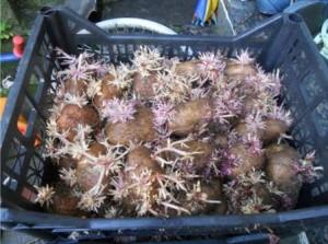 проращивание картофеля в ящиках_1