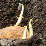 Как проращивать картофель перед высадкой?