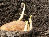 проращивание картофеля_1
