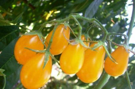Лучшие семена помидоров: отзывы