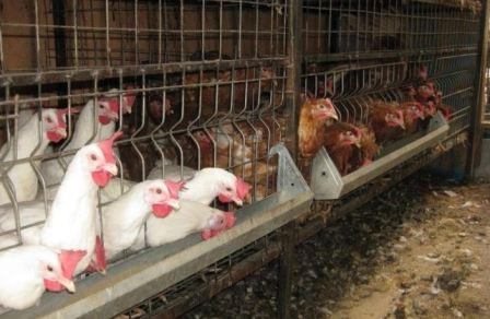 Уход за курицами в домашних условиях содержание 665