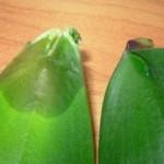 Почему гниют листья у орхидеи, и что с этим делать