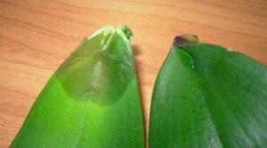 Почему гниют листья у орхидеи