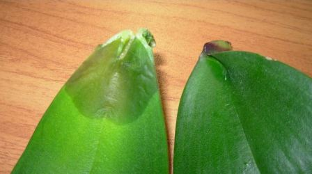 Орхидея что делать если начала гнить