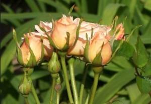 Когда высаживать розы в открытый грунт