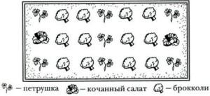 kapusta_brokkoli_sxema_posadki