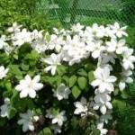 Клематисы  посадка и уход за чудо-цветами