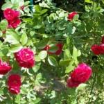 Весенний уход за кустами роз — раскрываем все секреты