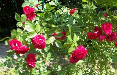 уход за розой весной